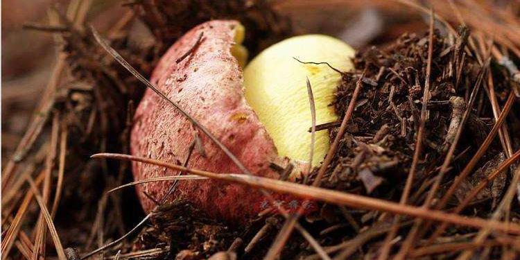 牛肝菌面面观:什么牛肝菌会导致中毒?