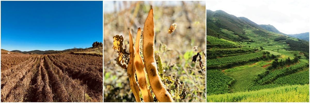 芸豆生长环境